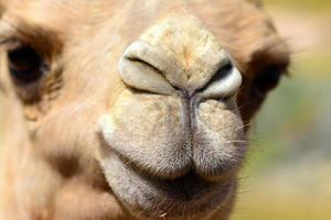 kamel ansikte på nära håll