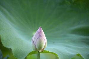 lotusknopp på nära håll foto