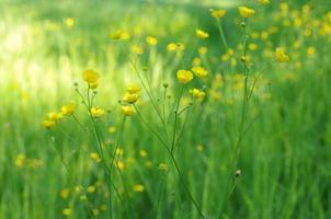 buttercups (ranunculus) närbild