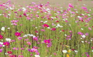 kosmosblommor som blommar i trädgården foto