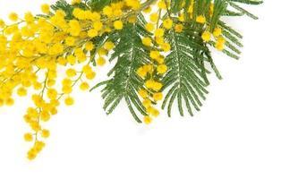 mimosa gren på nära håll foto