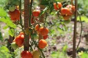 tomatväxt som växer i trädgården foto