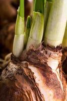 närbild påsklilja lampor foto