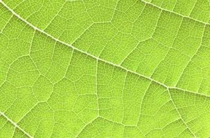 grönt blad på nära håll.