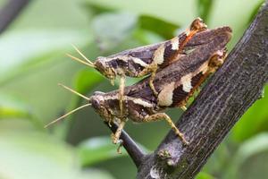 närbild gräshoppa foto