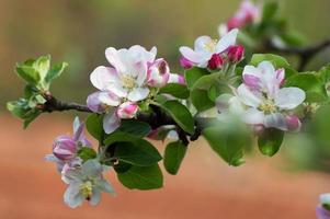 äppelträd blommor foto