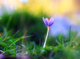 siciliansk vild blomma foto