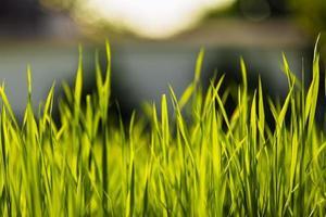 mjuk fokus naturlig grönt gräs bakgrund foto