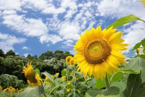solros (himawari) foto