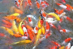 utfodring av fisk. foto