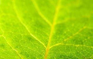 grönt blad närbild