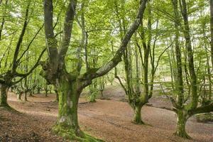 gammalt träd i skogen i bizkaia, baskiska landet, Spanien. foto