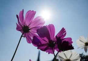 kosmos blommar i blommande med solnedgång foto