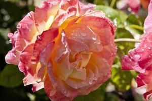 närbild av ros. foto