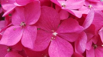 rosa blommor närbild foto