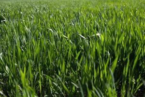 gröna groddar av vete i fältet