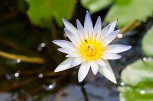 närbild vit lotus