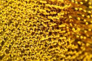 närbild pollen solros foto
