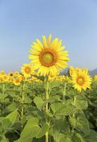 vackra solrosor i fältet foto