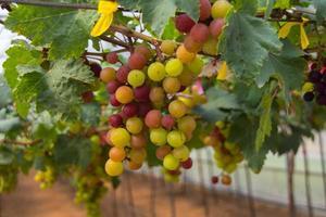 druvor i trädgården