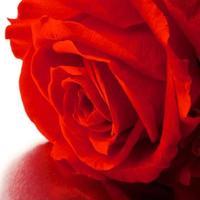 vacker närbild ros foto