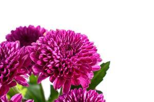 närbild lila krysantemum