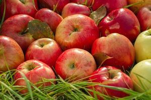 röda äpplen på nära håll foto