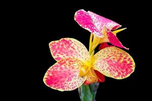canna blomma på nära håll foto