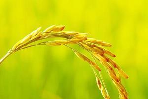 närbild av ris foto