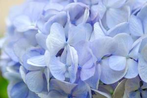hortensia blommor stängda upp