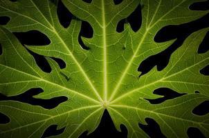 närbild papaya blad foto