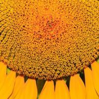 närbild av solros. foto