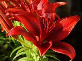 röda liljor på nära håll foto