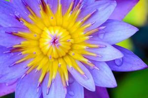lila lotus stängda upp