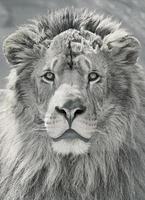 närbild lejonhuvud foto