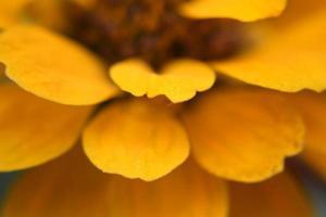 gul zinia på nära håll foto