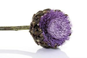 blommande kronärtskocka, närbild foto