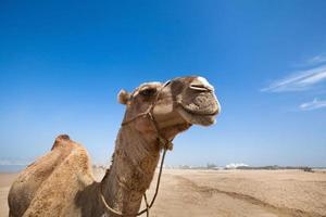 närbild av kamel foto