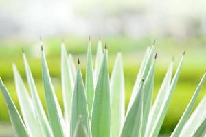 agave platta på nära håll foto