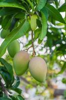 närbild av mango. foto
