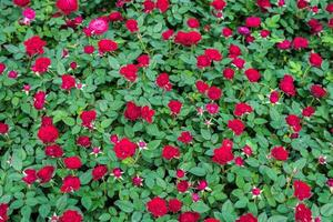 röda rosor på nära håll