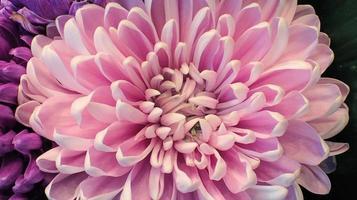 rosa krysantemum på nära håll foto