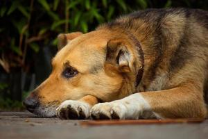 porträtt av en stor vakthund foto