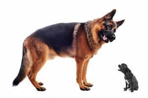 tysk herde och chihuahua foto