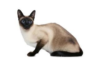 siamese katt i gammal stil foto
