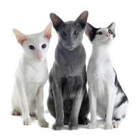 tre orientaliska katter foto