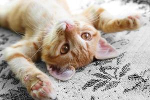 ingefära kattunge foto