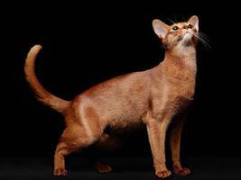 porträtt av vacker ung abyssinian katt foto
