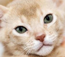 abyssinian kattunge. färg fawn foto