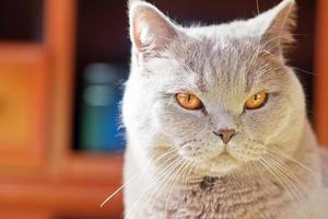 närbild lila brittisk katt foto